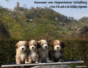 Havaneser vom Heppenheimer Schlossberg