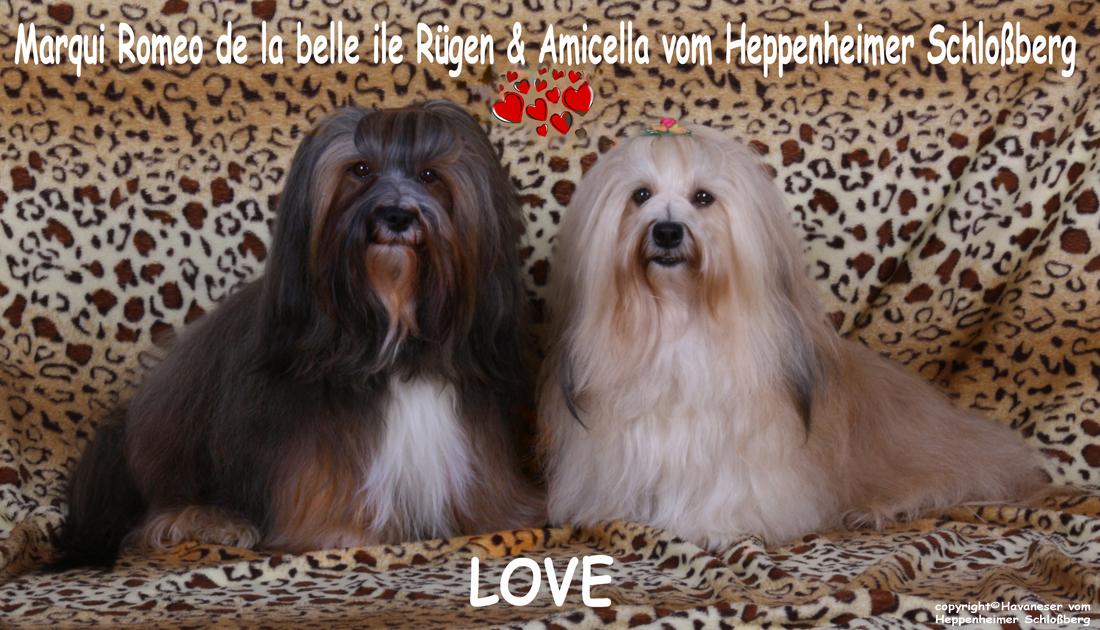 Romeo+Amicella, Havaneser