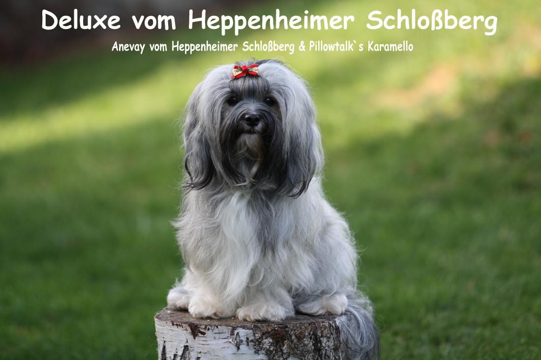Deluxe, Havaneser vom Heppenheimer Schloßberg