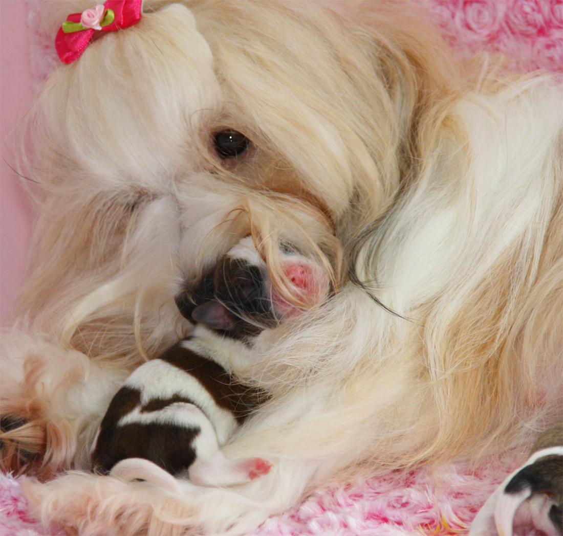 Juliette und ein Baby, Havaneser