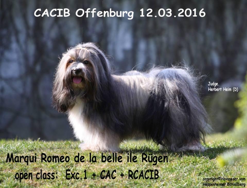 Offenburg 2016 Romeo, Havaneser