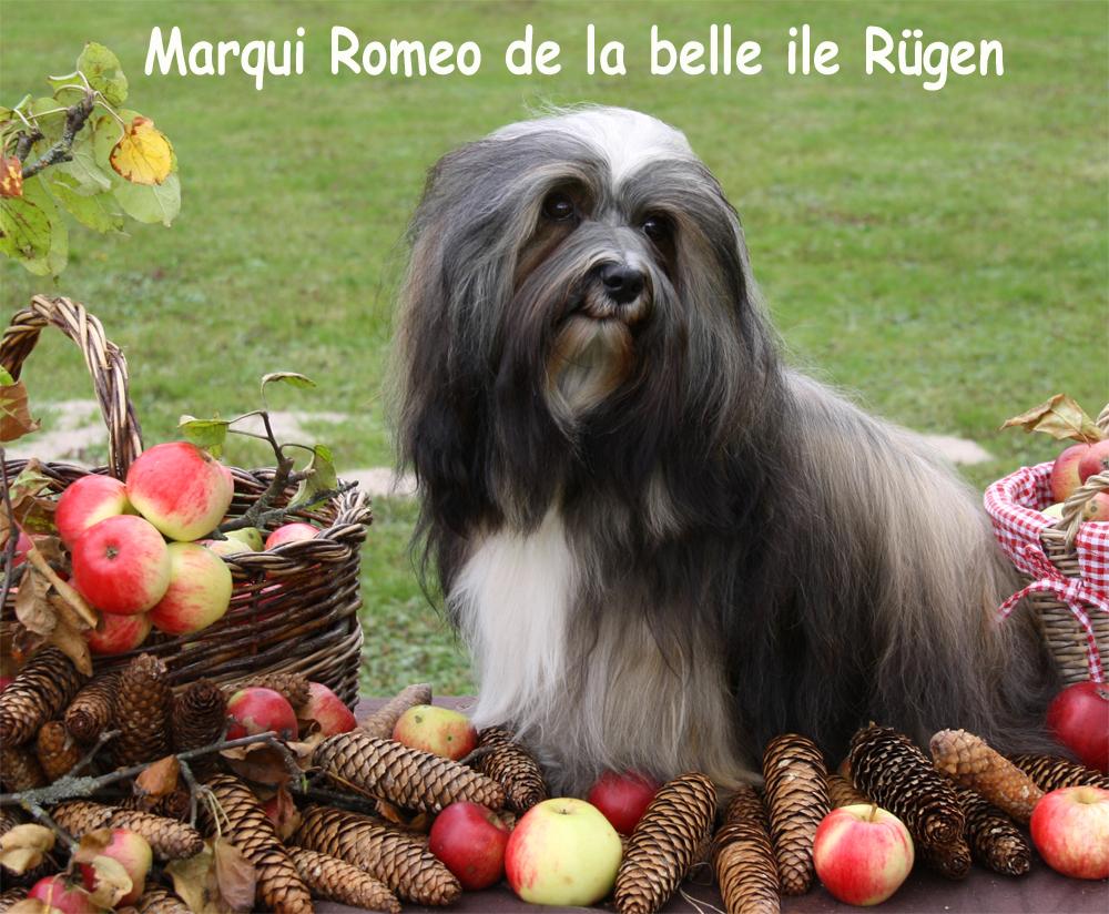 Romeo, Havaneser