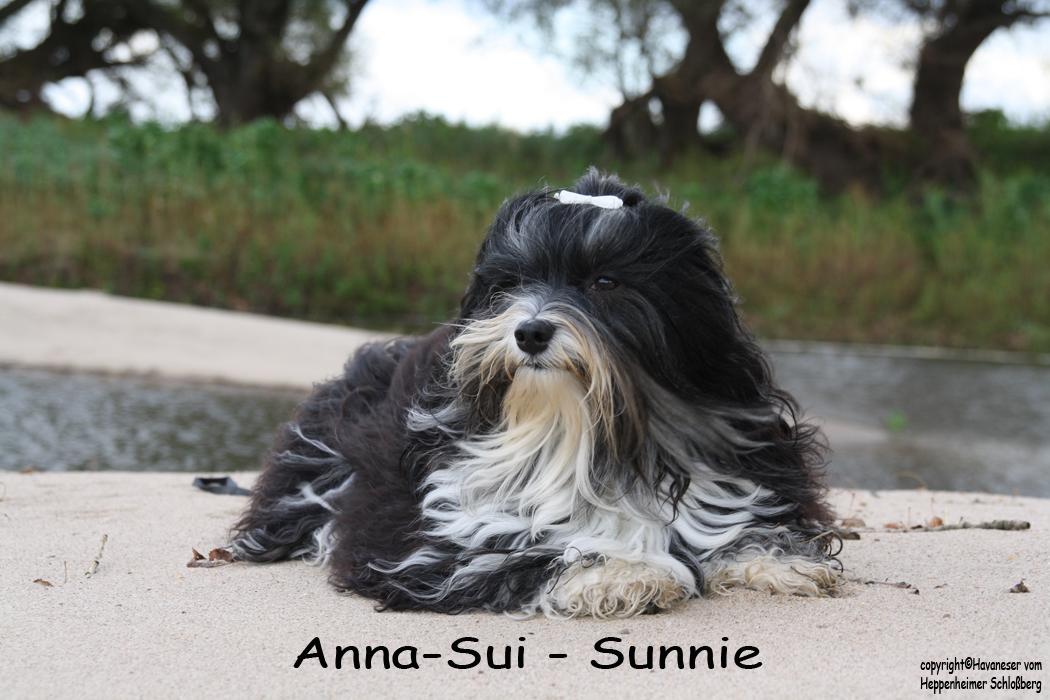Sunnie, Havaneser